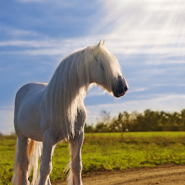 Sunset horse by Tamara Didenko - Animals Horses ( sunset, horse, white, shire, animal,  )