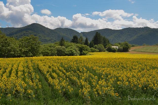 2013-08-22 Sunflowers 001