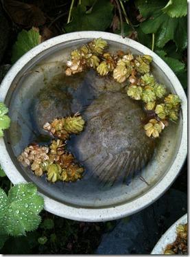 vannplanter