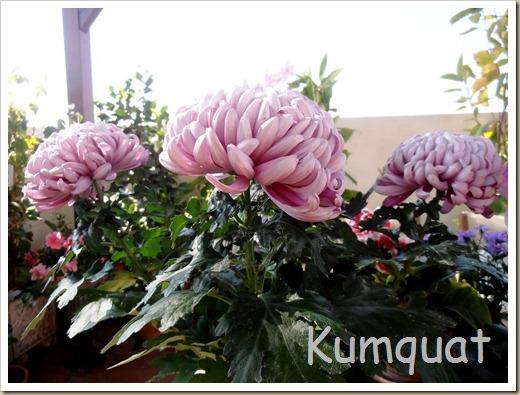 crisantemo turner 1