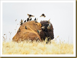 Starlings on the Bison's Back