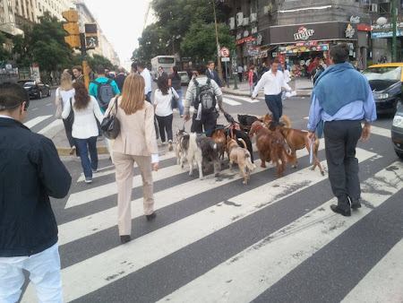 La lucru-Buenos Aires, plimbator de caini