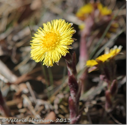 1-coltsfoot