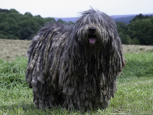 Another look at a Bergamasco. Photo By Stephen DeFalcis