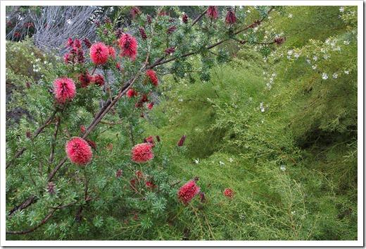 120211_UCSC_Arboretum_Kunzea-baxteri_04