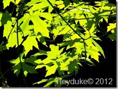 Eel River Maples