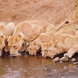 by Sam.simon@ipacc.com Sam.simon@ipacc.com - Animals Lions, Tigers & Big Cats