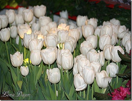 Tulips_White