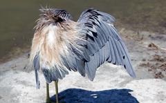 Tri-Colored Heron Spi 6