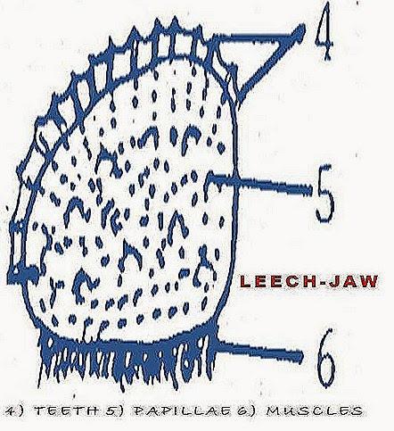 HIRUDINARIA-digestive-system-jaw