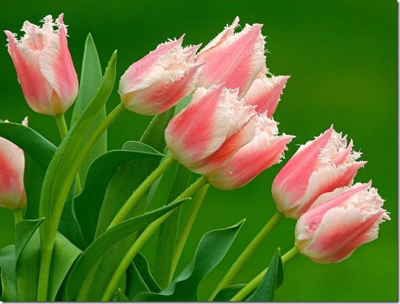 flores-facebook-tumblr-rosas-las flores-fotos de flores-742
