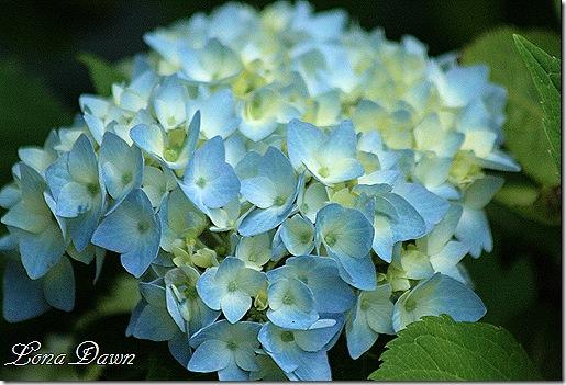 Hydrangea_Nikko