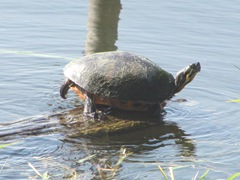 Florida turtle sunning Lake Osborne