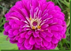 Zinnia Purple_Prince