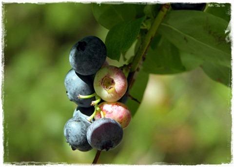 14 blåbär