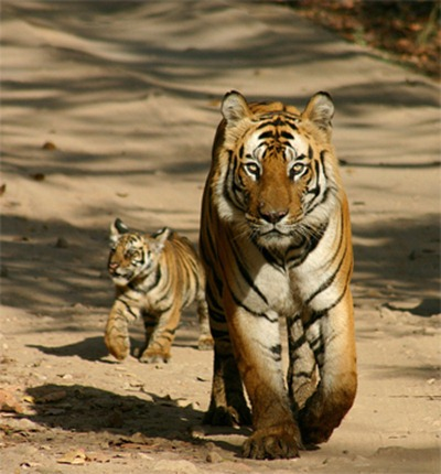 A_tiger_in_Pilibhit_Tiger_Reserve