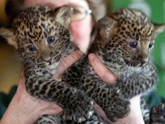 Seven week old leopards Arjuna and Sri Kandi