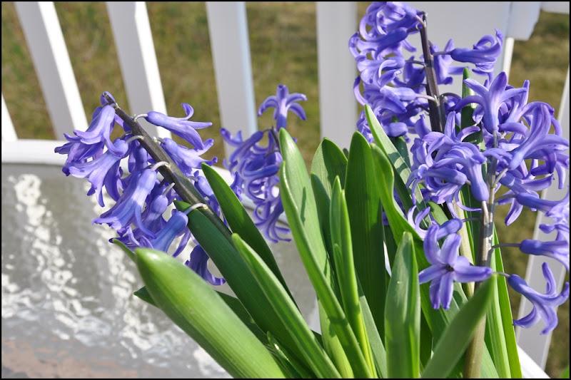 Liliacs, daffodills, cyclamen 056