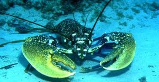 Amazing Pictures of Animals, photo, Nature, exotic, funny, incredibel, Zoo, Homarus gammarus, European lobster or common lobster, Alex (12)