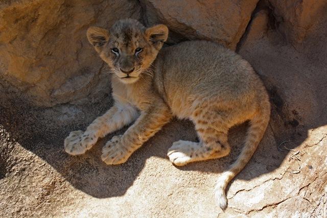 Defiant Lion Cub, Lion Park Johannesburg