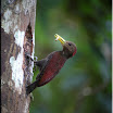 Maroon Woodpecker---Blythipicus rubiginosus-01 copy.jpg