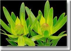 leucandendron