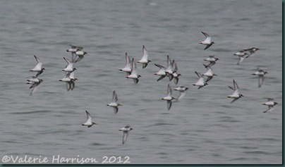 6-ringed-plovers