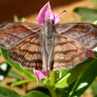 Many-banded Skipper