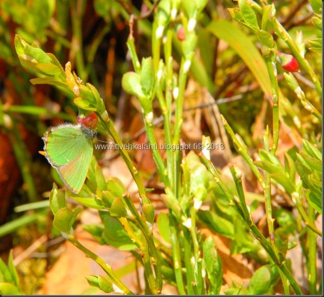 asfaltti työ vt 8 Kangasperhonen (Callophrys rubi) 100