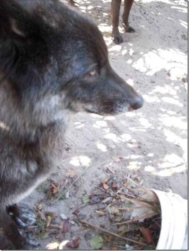 CÃO lobo (8)