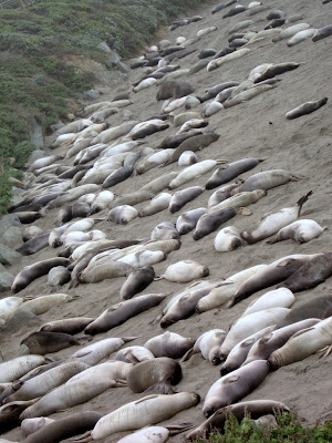 don't worry, they're just sleeping.. lazy elephant seals