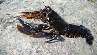 Amazing Pictures of Animals, photo, Nature, exotic, funny, incredibel, Zoo, Homarus gammarus, European lobster or common lobster, Alex (9)