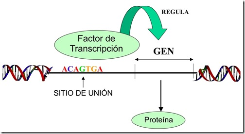 factor_transcripcion