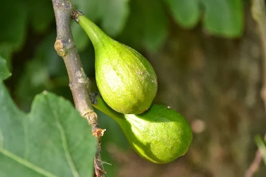 Wild fig - close-up of fruit