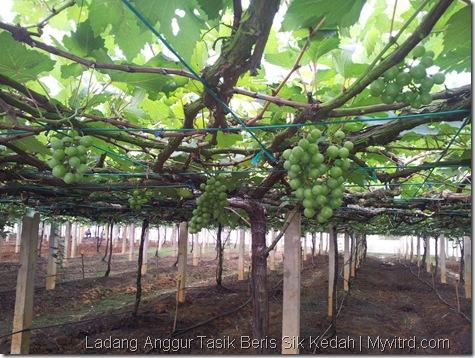 Ladang Anggur Tasik Beris 21