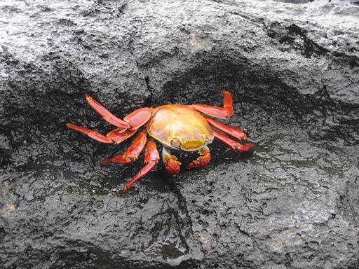 A sally light-foot crab