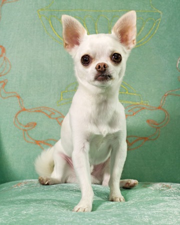 Rocco, a Chihuahua, displays a debonaire dash similar to Fred Astaire.