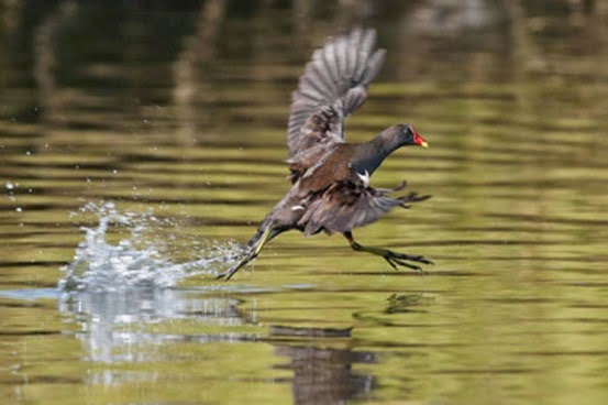 Amazing Pictures of Animals, Photo, Nature, Incredibel, Funny, Zoo, Common Moorhen, Gallinula chloropus, Aves, Alex (30)