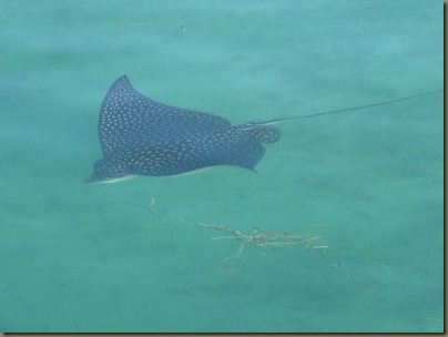 leopard ray video (10)