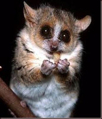 Amazing Pictures of Animals photo Nature exotic funny incredibel Zoo Lemur. Alex (6)