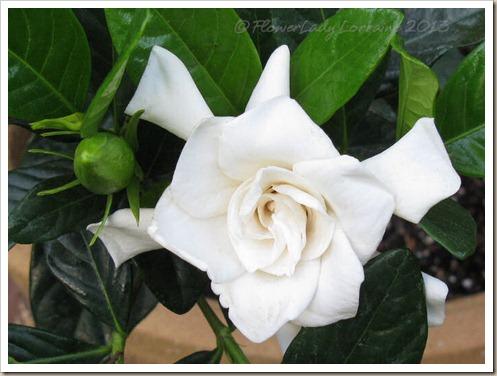 01-28-gardenia