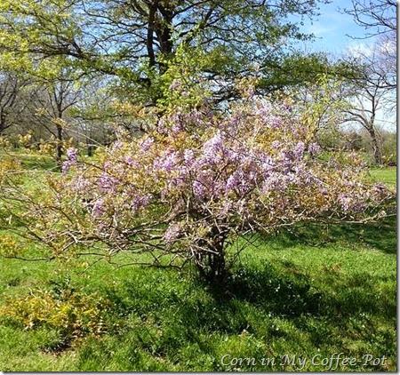 wisteria 20.14