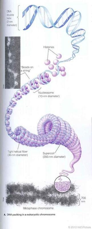 Struktur kromosom 2