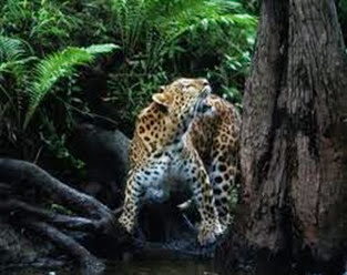 Amazing Pictures of Animals, Photo, Nature, Incredibel, Funny, Zoo, Leopard,Panthera pardus, Mammals, Carnivora, Alex (15)