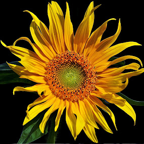 Sunflower by Eugenija Seinauskiene - Flowers Flowers in the Wild ( wild, green, sunflower, yellow, flower,  )