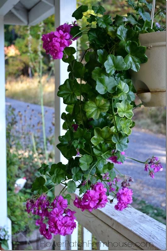 lavendar ivy geranium1