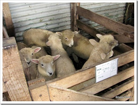 Lambs for fattening or replacement Ewes.