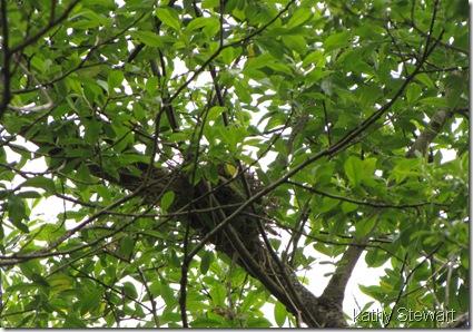 Yellow Warbler nest?