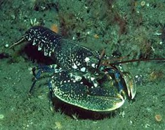 Amazing Pictures of Animals, photo, Nature, exotic, funny, incredibel, Zoo, Homarus gammarus, European lobster or common lobster, Alex (4)