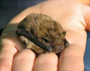 Amazing Pictures of Animals, Photo, Nature, Incredibel, Funny, Zoo, Common pipistrelle, Mammals, Alex (14)